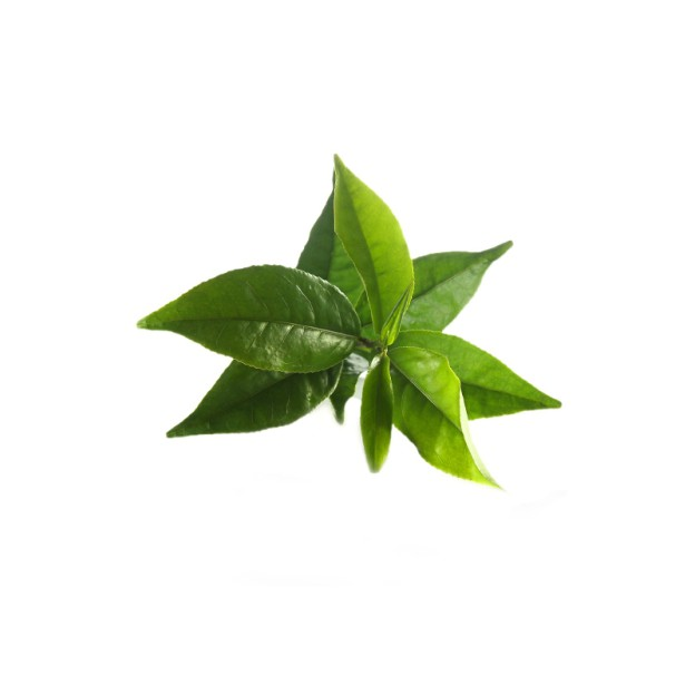 the-vert-bio-camellia-sinensis